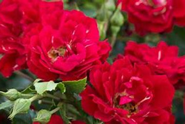 Drift Rose Asst. 1 Gallon