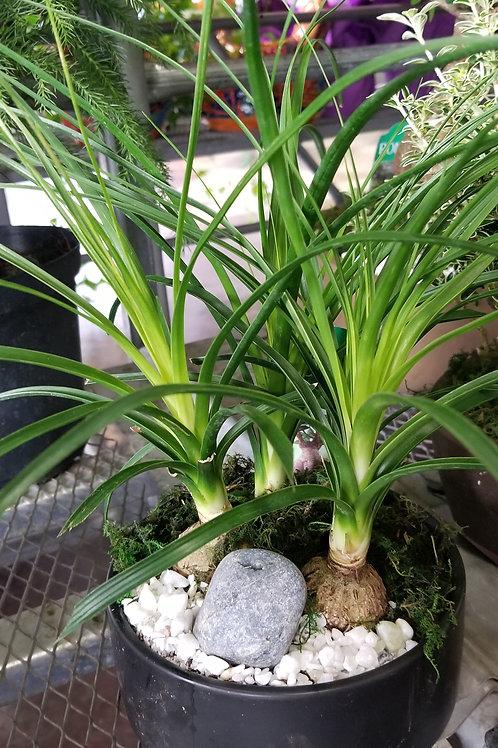 "Bonsai Asst Round Ceramic Pot 6"" Houseplant"