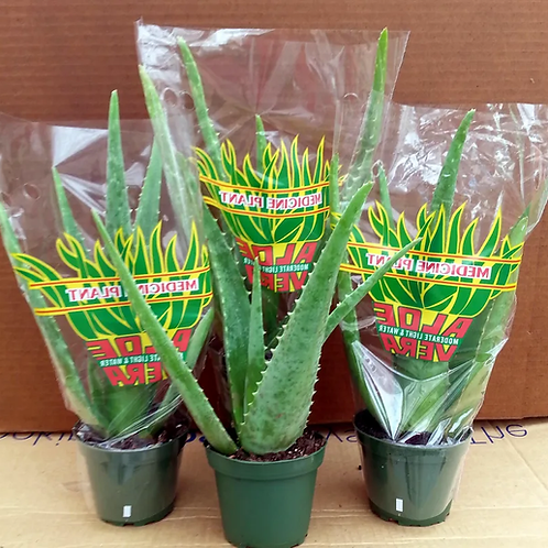 "Aloe 4"" Houseplant"
