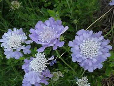 Pincushion Flower Butterfly Blue 2Gal