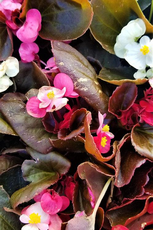 """Begonia Bronze 6/6.5"""" Sun"""