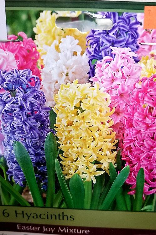 Hyacinths 6 count bag