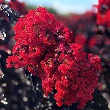 Crape Myrtle 5 Gallon