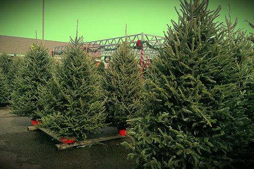 Fraser Fur Fresh Cut Tree 8'-9'