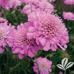 Pincushion Flower 1 Gal Perennial