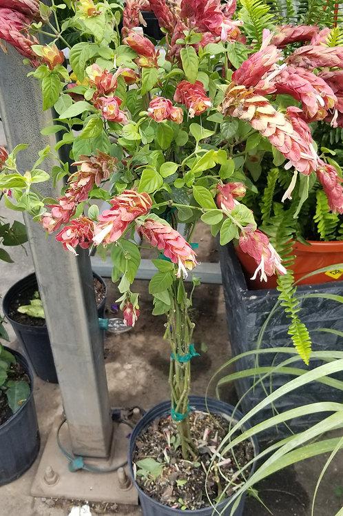"Shrimp Plant Tree Standard Trunk- 10"""