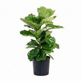 "Ficus Lyrata 8"" Houseplant"