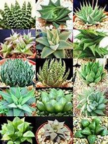 "Haworthia Asst. 4"" Houseplant"