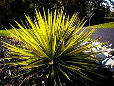 Yucca 3Gal