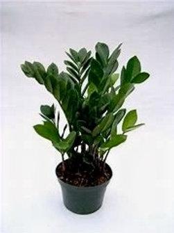 "ZZ Plant 6"" Houseplant"