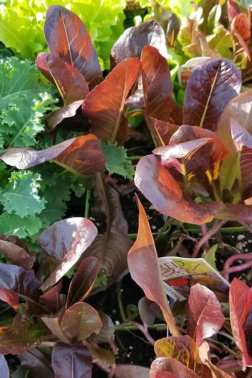 "Lettuce/Greens Assorted Veggies 4"" Pot"