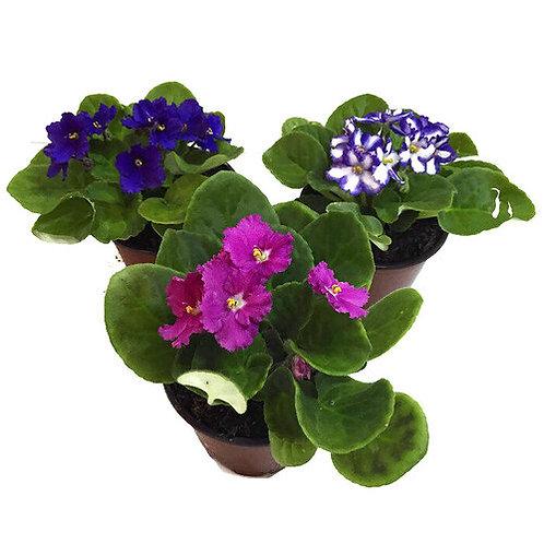 "African Violet 4"" Houseplant"