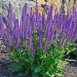 Salvia Perennial 1 Gallon