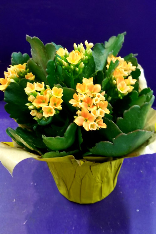 """Kalanchoe 4.5"""" in pot cover"""
