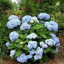 Hydrangea Asst. 3 Gallon- Perennial Shrub