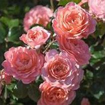 Drift Rose  Asst. 2 Gallon