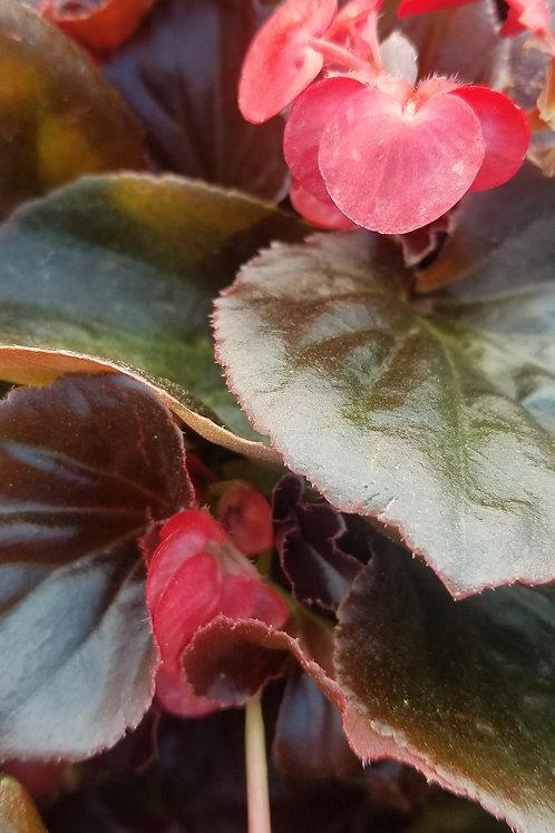 "BIG Begonia Bronze Leaf 6/6.5"" Pot -Sun"