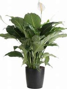 "Peace Lily 10"" Houseplant"