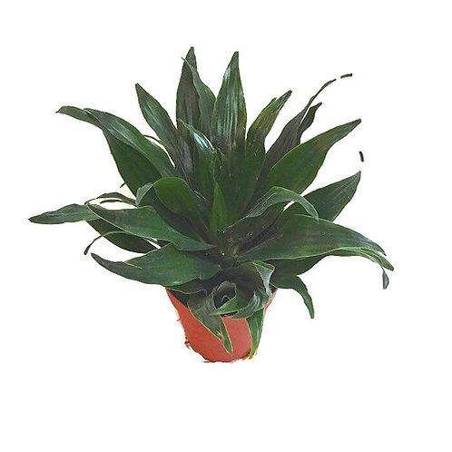 """Dracena Asst. 4"""" House plant"""