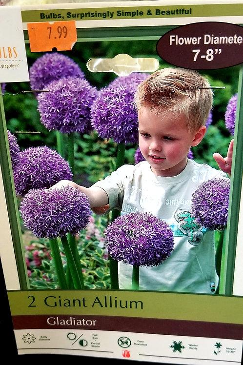 Giant Purple Allium -Gladiator 2 count bag
