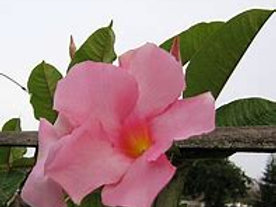 Mandevilla 1 Gal Tropical
