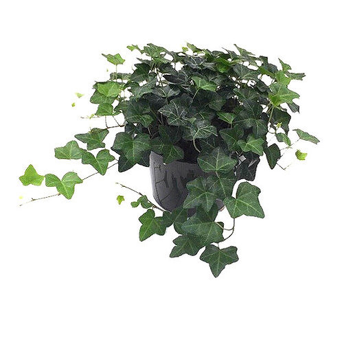 "Ivy Green 6"" Houseplant"