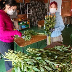 芍薬(シャクヤク)の栽培
