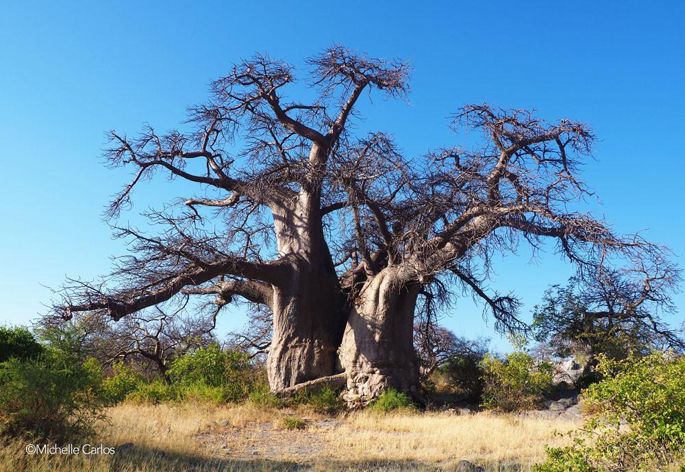 A baobab in Kubu Island, Botswana