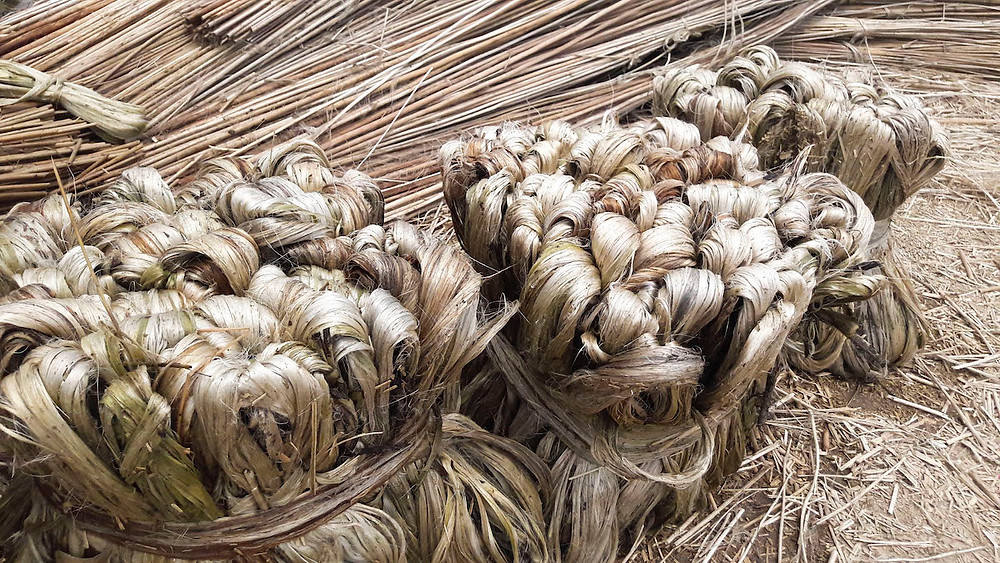 jute golden fibers being stripped and bundled
