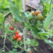 odling tomater.jpg