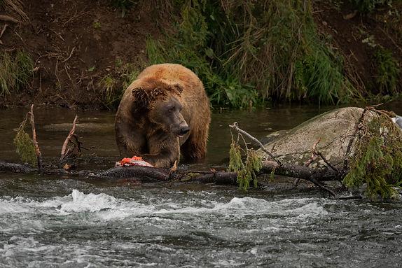 Faulconer family Alaska vacation watching very large bears salmon fishing!