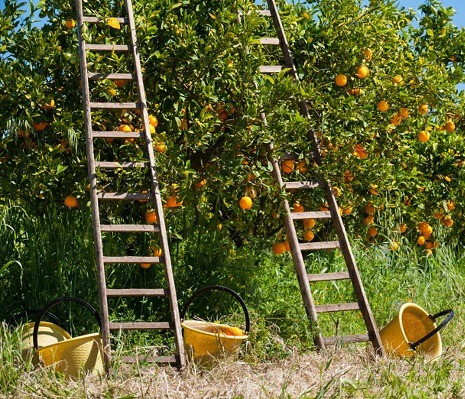 citroen boomgaard sicilie