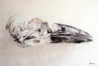Corvus corax. Crâne.