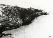 corvus corax n°2