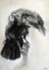Dessin - Corvus corax - Hyane