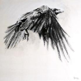 Corvus corone n°1