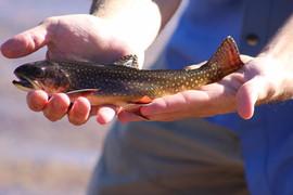 Yosemite_brook_trout