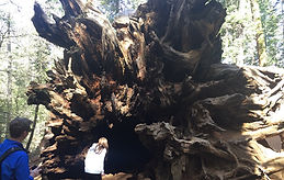 Stand in the shadow of the largest living organisms on earth during this 2.5 mile round trip hike into an ancient grove of Giant Sequoia!
