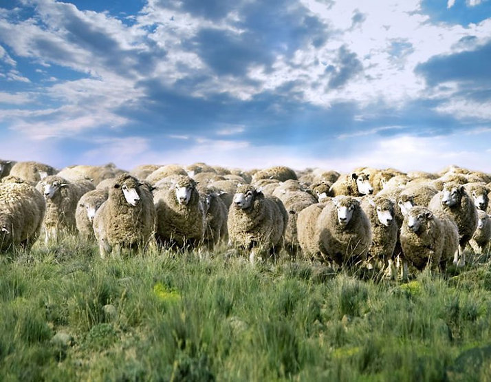 pecore-768x597.jpg
