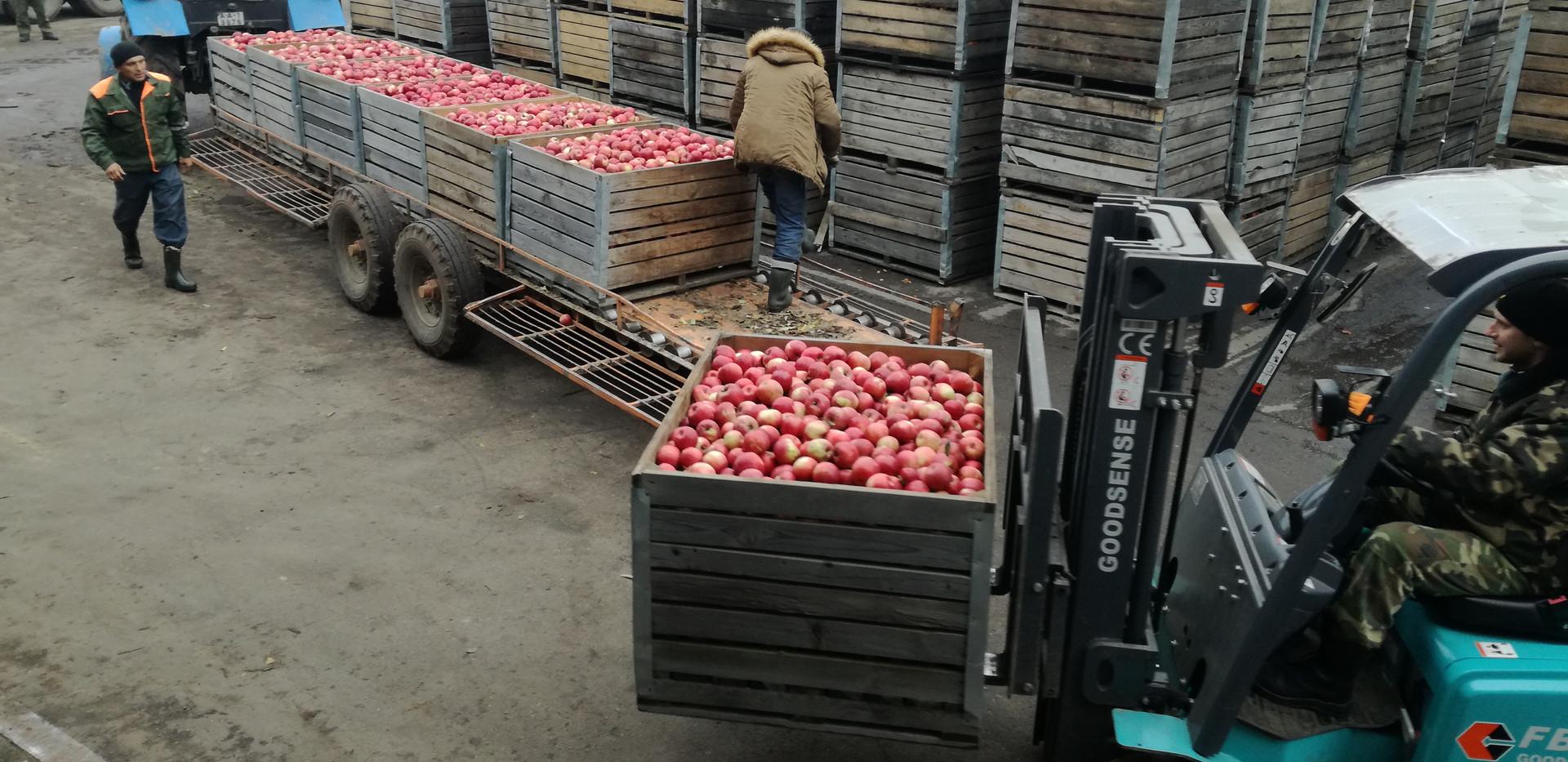 Яблоки сортировка