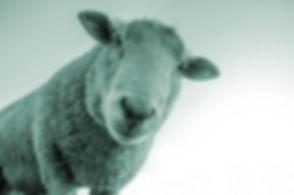inquisitive aqua sheep