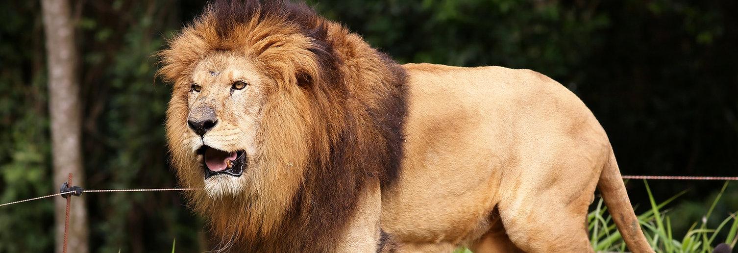 lion at african lion safari