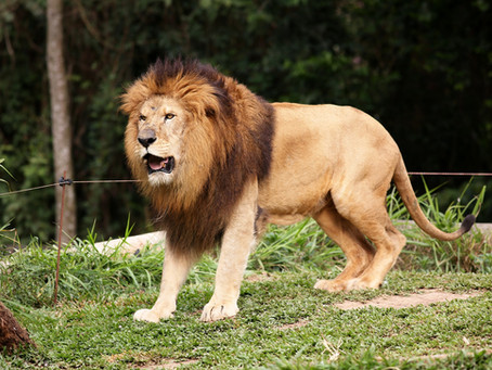 Man Soils Himself in Lion Enclosure at Zoo
