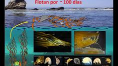 Floating algae: Transportation for marine invertebrates