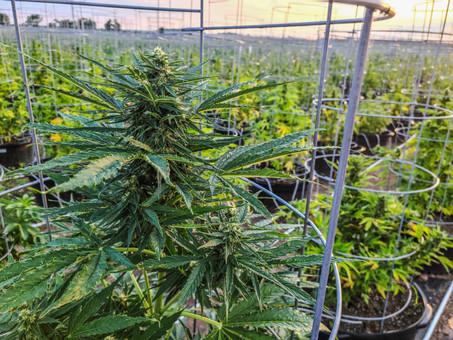 Mariwell Autoflower Harvest Update