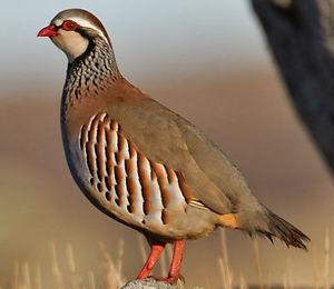 red-legged-partridge-.jpg