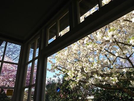 桜の花の命は短い