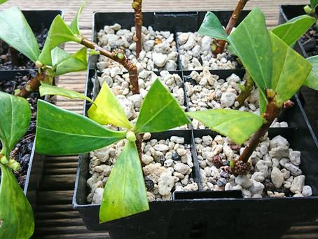 沈丁花(ジンチョウゲ)の挿し木