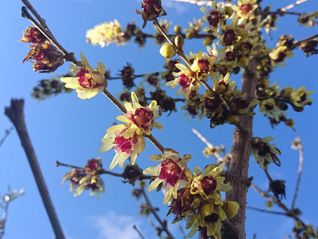 Winter Sweet (ロウバイ)真冬に香り高い花を咲かせる花木