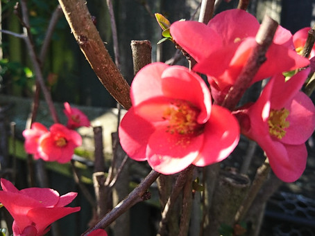 Japanese quince(ボケ)